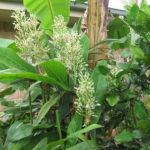Galangal Spice Paste