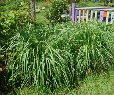 Lemon Grass: Top Plants