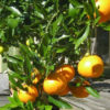Citrus: When and how to Feed