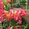 Adenium obesum : Desert Rose