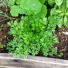 Parsley – Top Plant