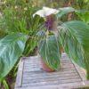 Tacca integrifolia – Bat Flower