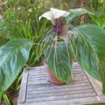 Tacca integrifolia - Bat Flower