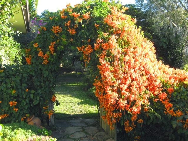 used in my garden to cover an ugly fence and create a archway this is a good climber to use if you want a plant that is - Climbing Plants