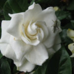 Gardenias - Which One to Plant and How to Care for Them?