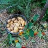 Potatoes – growing your own is easy!