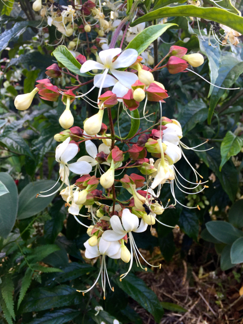 Plant of the Month: Clerodendrum, Bridal Veil