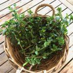 Purslane – Wonder Weed