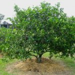 When is the Best Time to Prune Citrus?