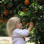 Citrus.  All about Planting, Watering, Feeding