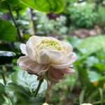 The Jasmine Tea Plant