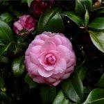 The most popular camellia in Australia